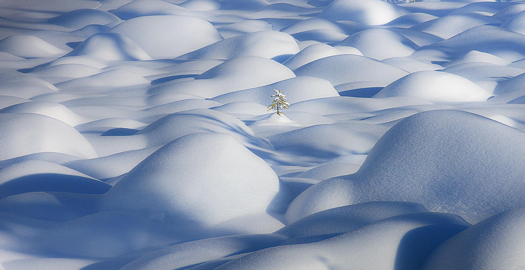 Lone tree, tree, winter, struggle, emerge, canada, jasper, snow, photo