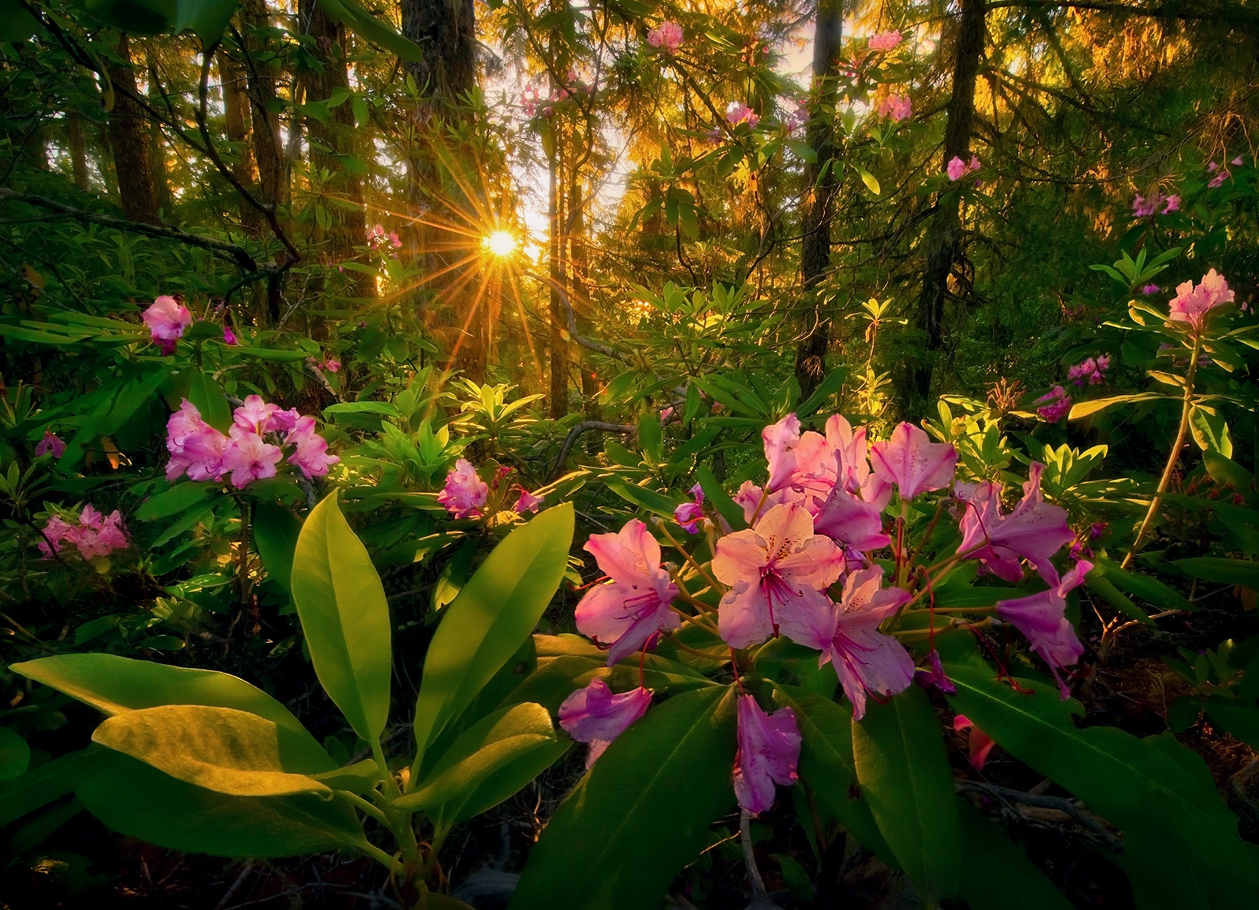 Rich light of sunset beams through a Cascade Mountain forest in Oregon illuminating spring Rhododendrons.