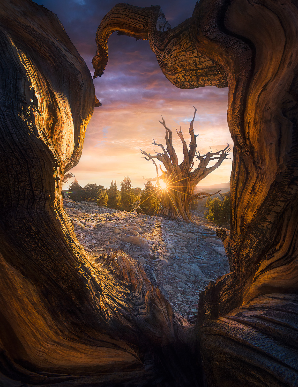 white mountains, bristlecones, pine, old, ancient, tree, gnarled, bark, wood, california, marc adamus, unique, sunset, photo