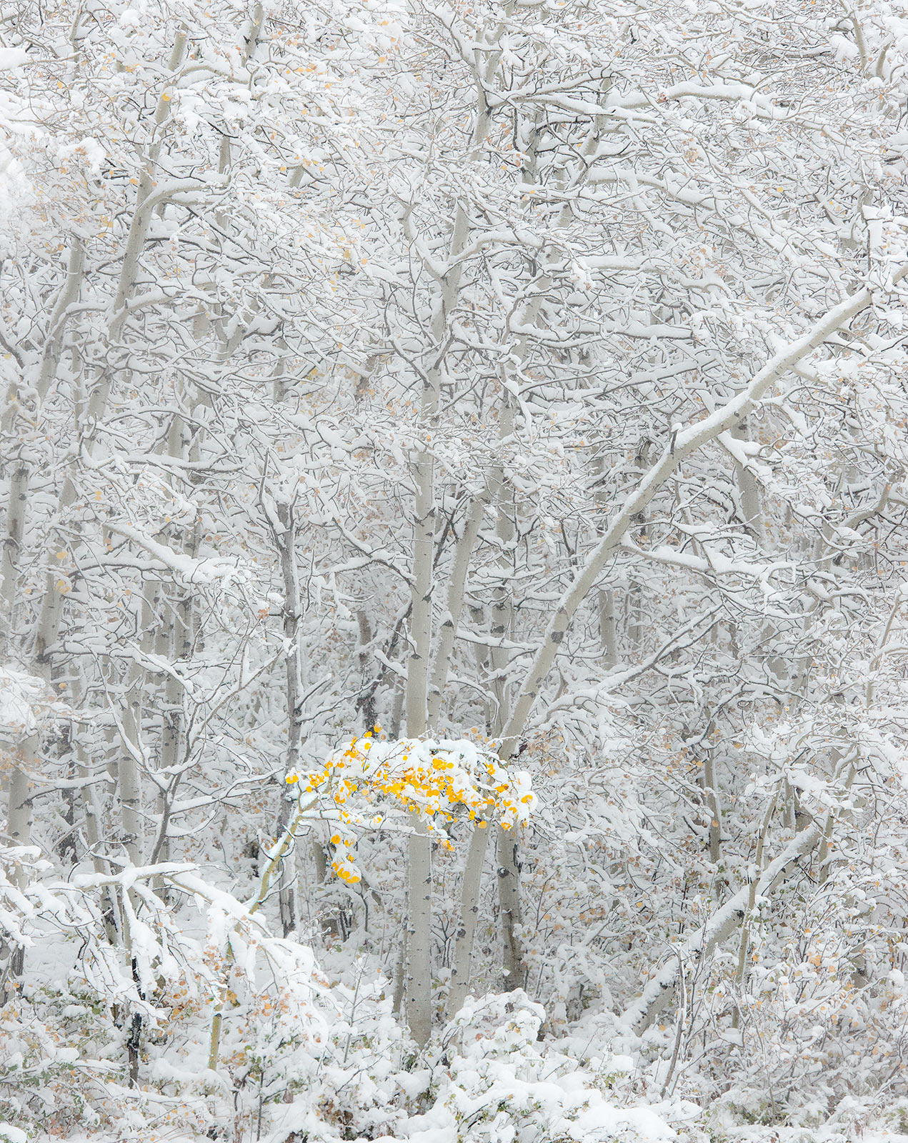 Fall, snowfall, gold, glacier, montana, Lone, Tree, Color, Snow, photo