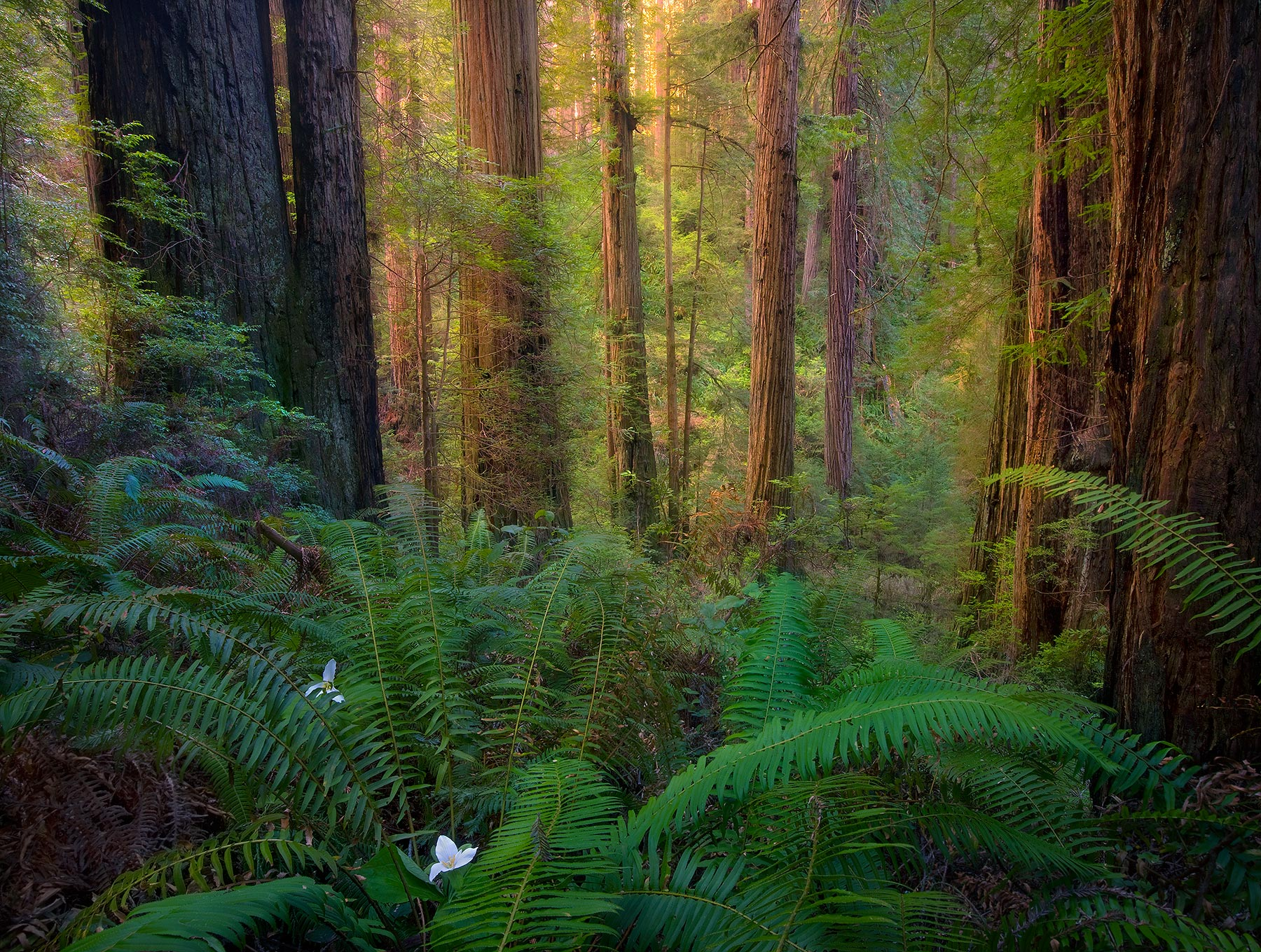 california, del norte, redwood, state park, ancient, old-growth, forest, morning, photo