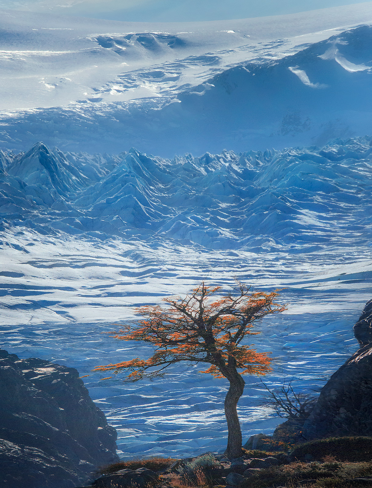 Lengus, tree, ice, icecap, glacier, frozen, patagonia, lago grey, chile, photo