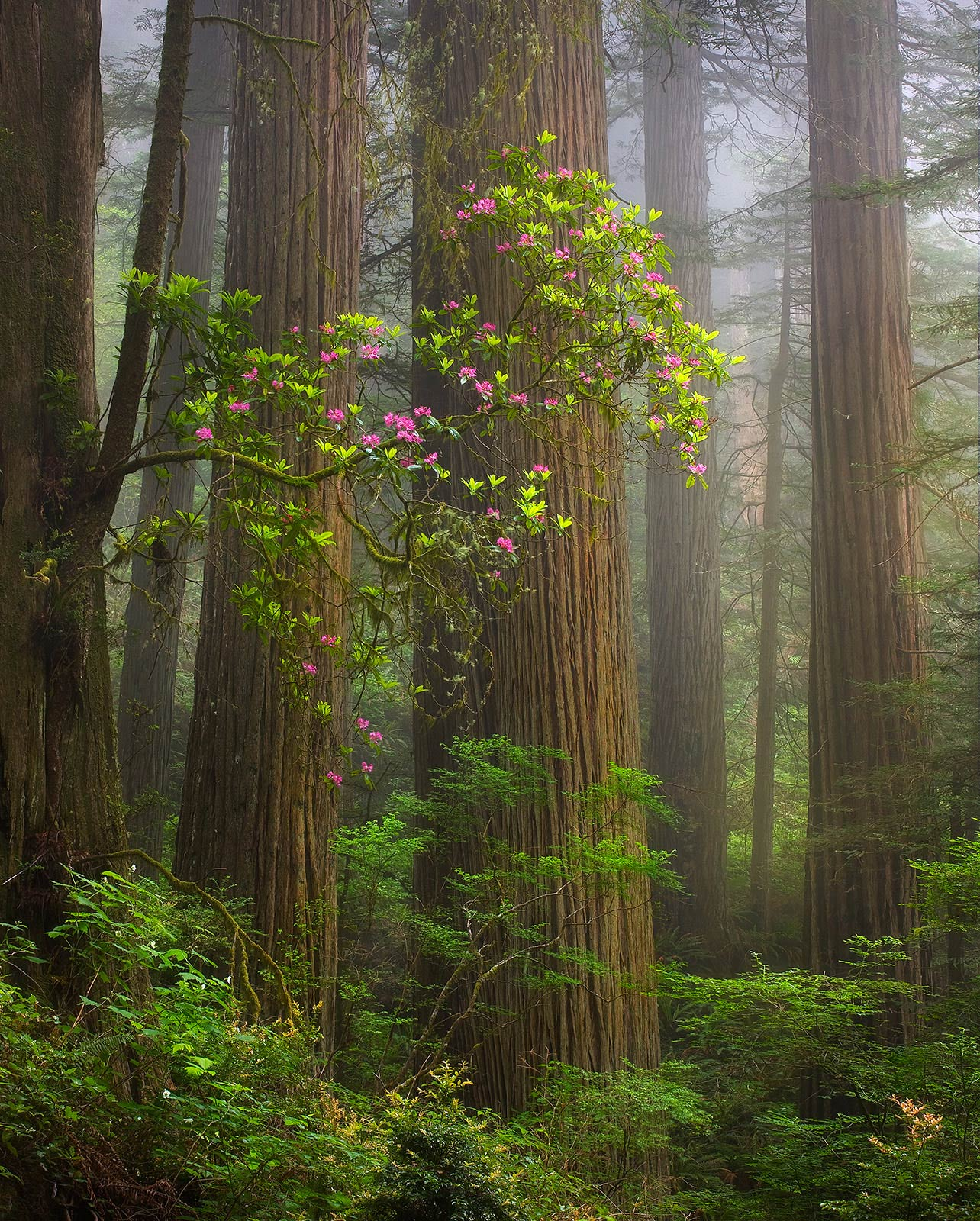 Redwood, Rhodedendron, Fog, Forest, Old-Growth, California, photo