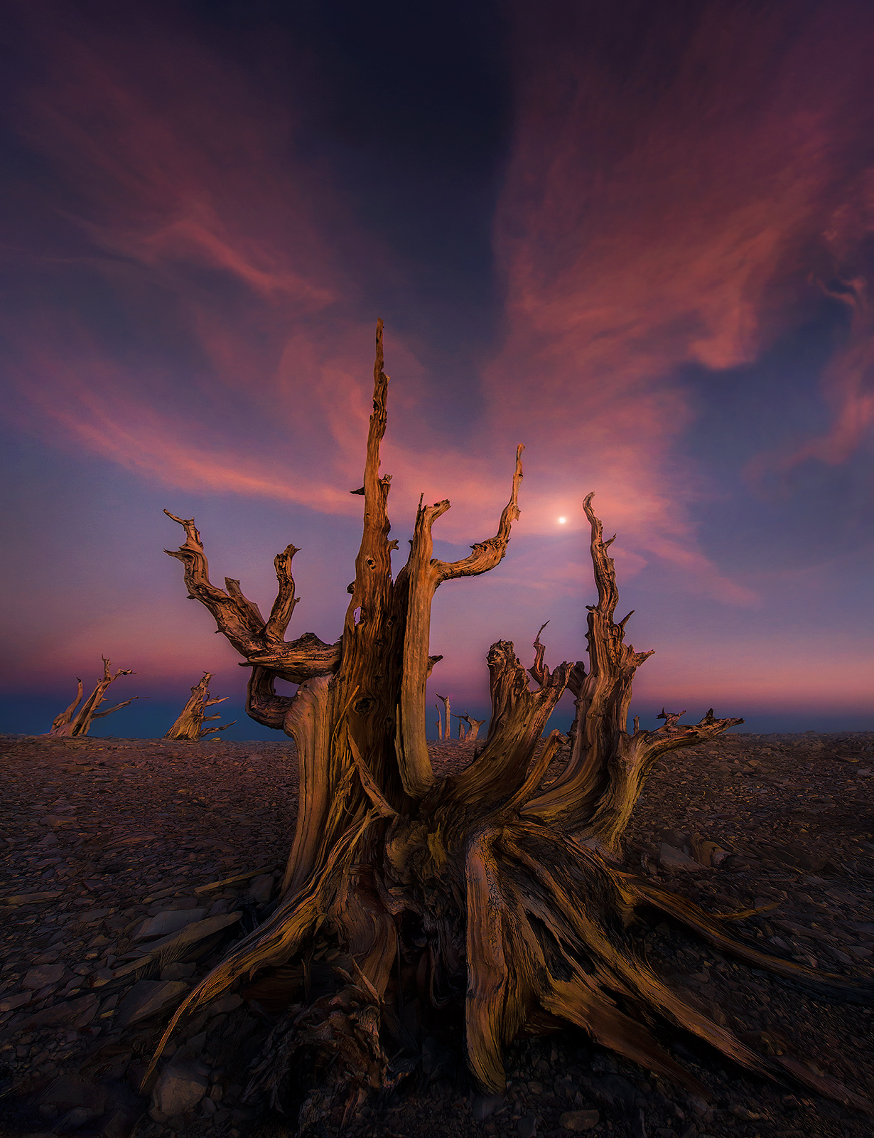 Bristlecone, oldest, tree, moon, sunset, remote, unique, white mountains, tres plumas, photo