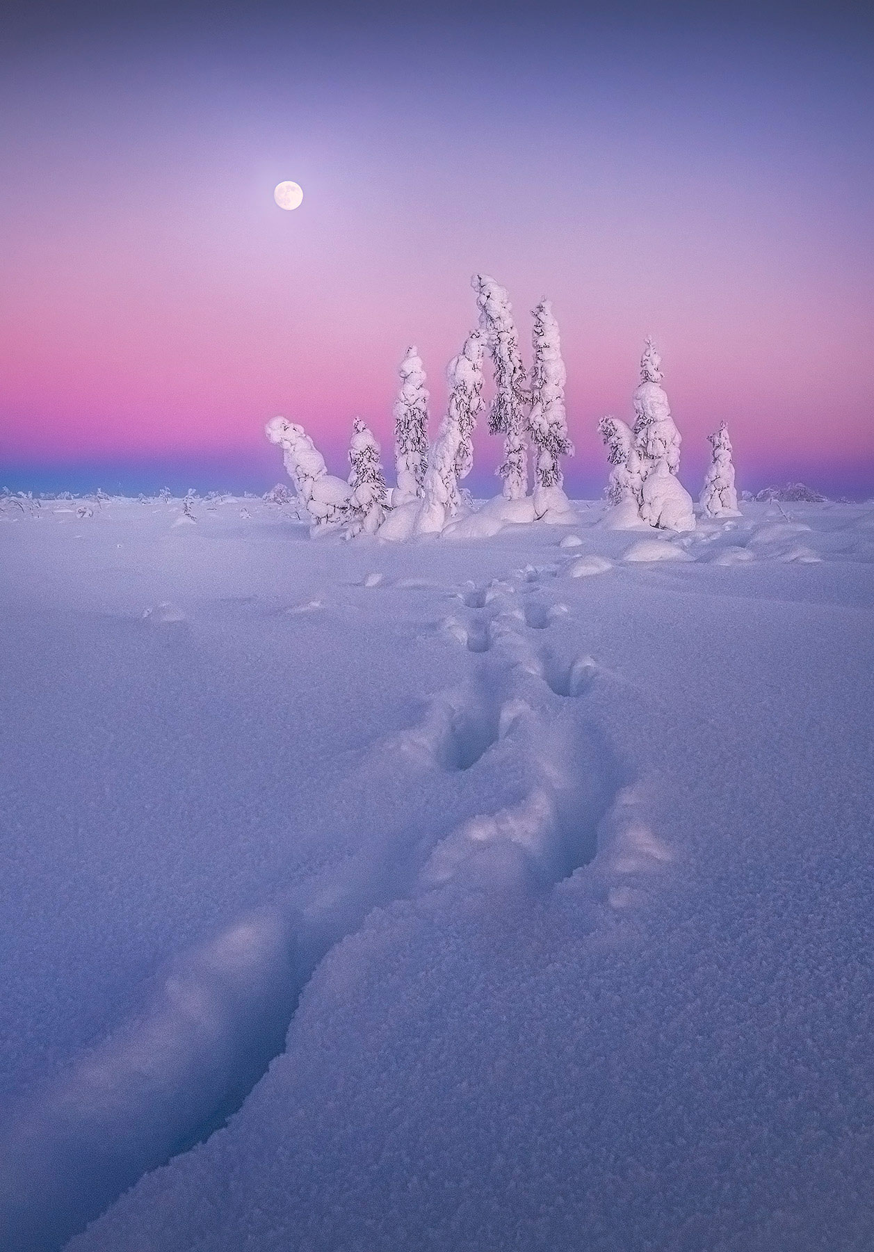 Moonrise at twilight over rime-covered trees in the Alaskan winter with moose tracks leading the way