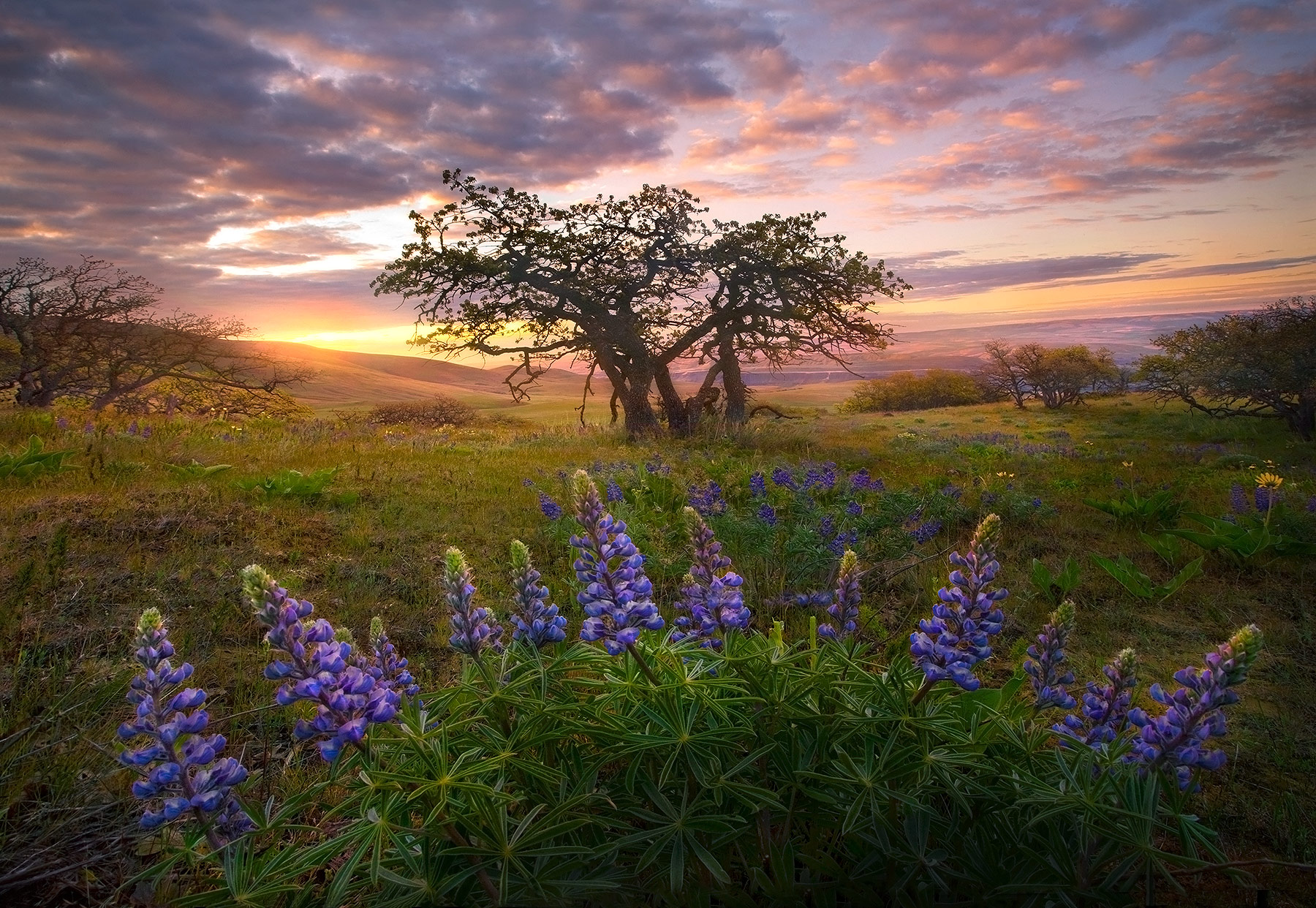 Lupine wildflowers and Oak trees in Washington's Columbia hills in May at sunrise.