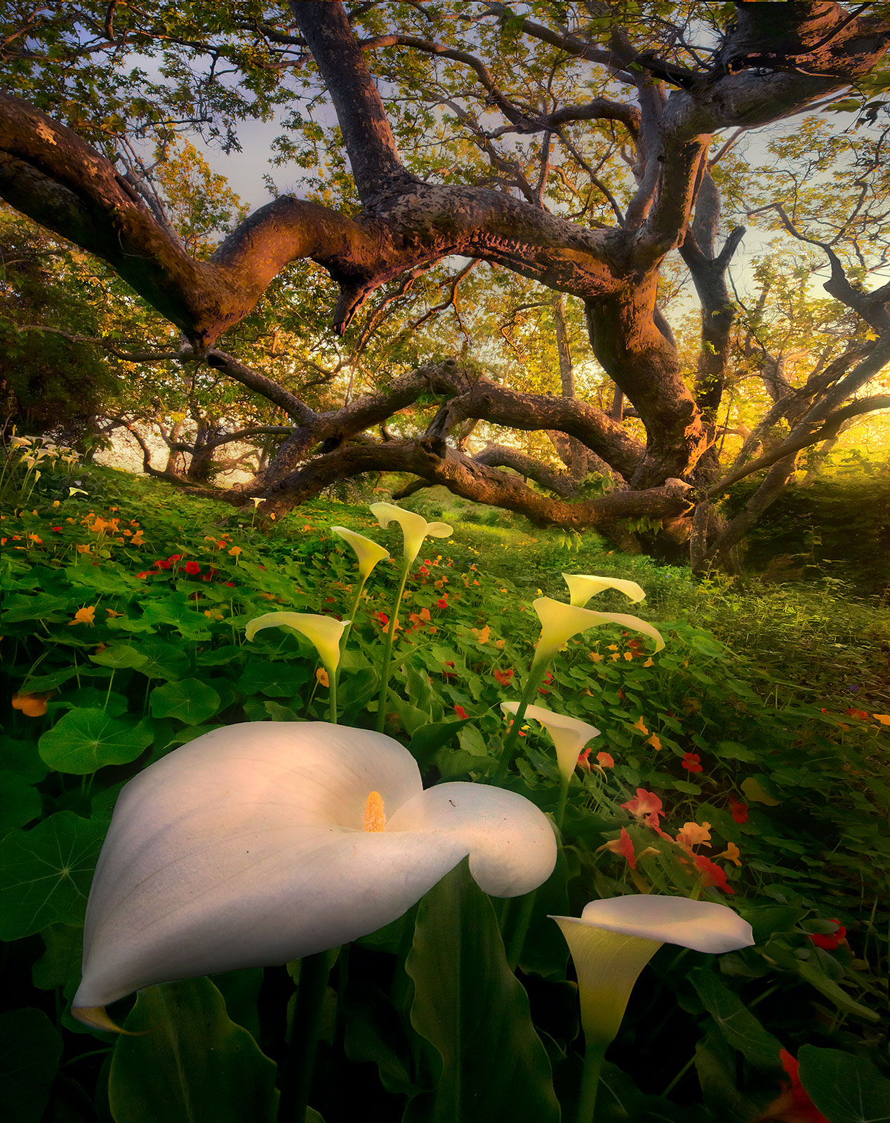 eucalyptus, california, lilies, coast, sunset, forest, photo