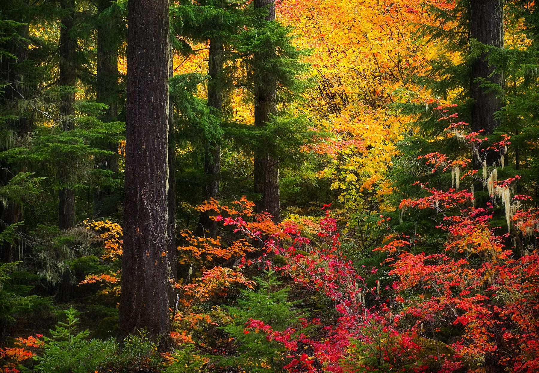 autumn, fall, wilderness, old growth, fir, vine maple, oregon, photo
