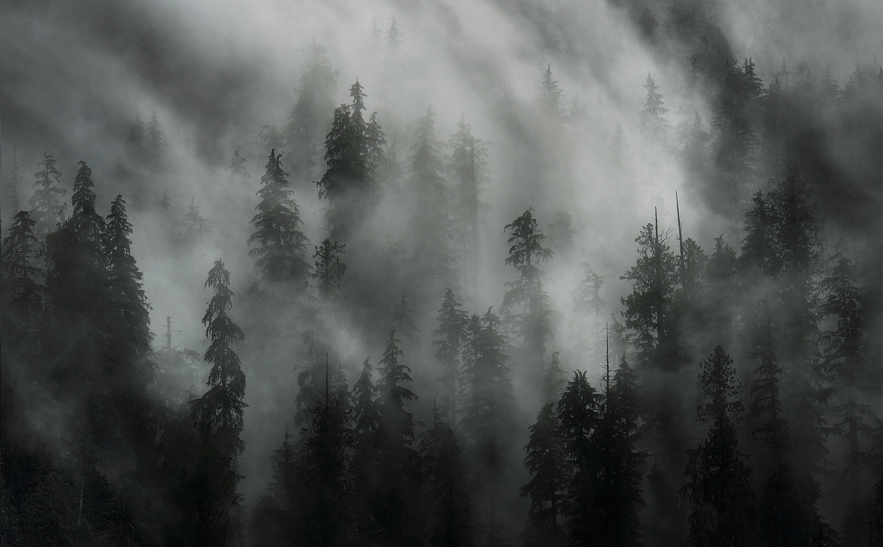 Quinault, Trees, Fog, Old Growth, Olympic, Washington, photo
