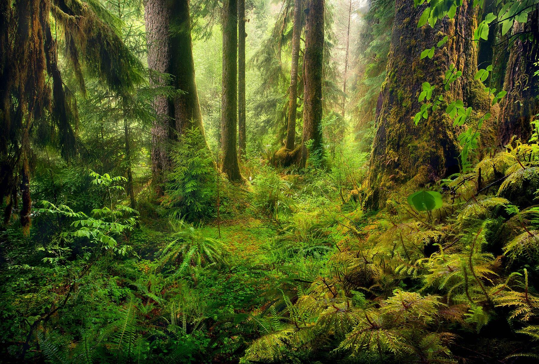 Misty, rainy, olympic, rainforest, photo