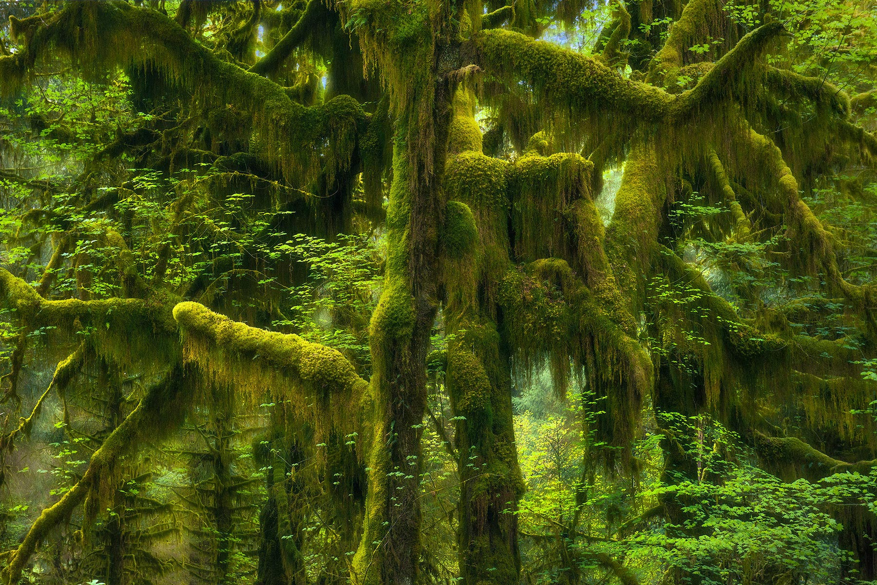 Soft light in showing off the mossy forests of the Hoh, in Olympic National Park, Washington.