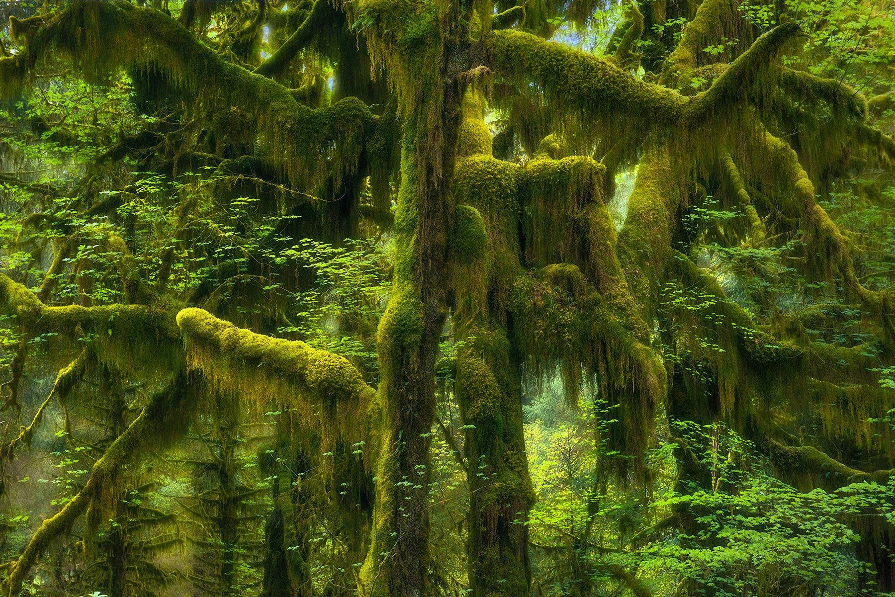 Hoh, Rain Forest, Washington, mossy, green, spring, photo