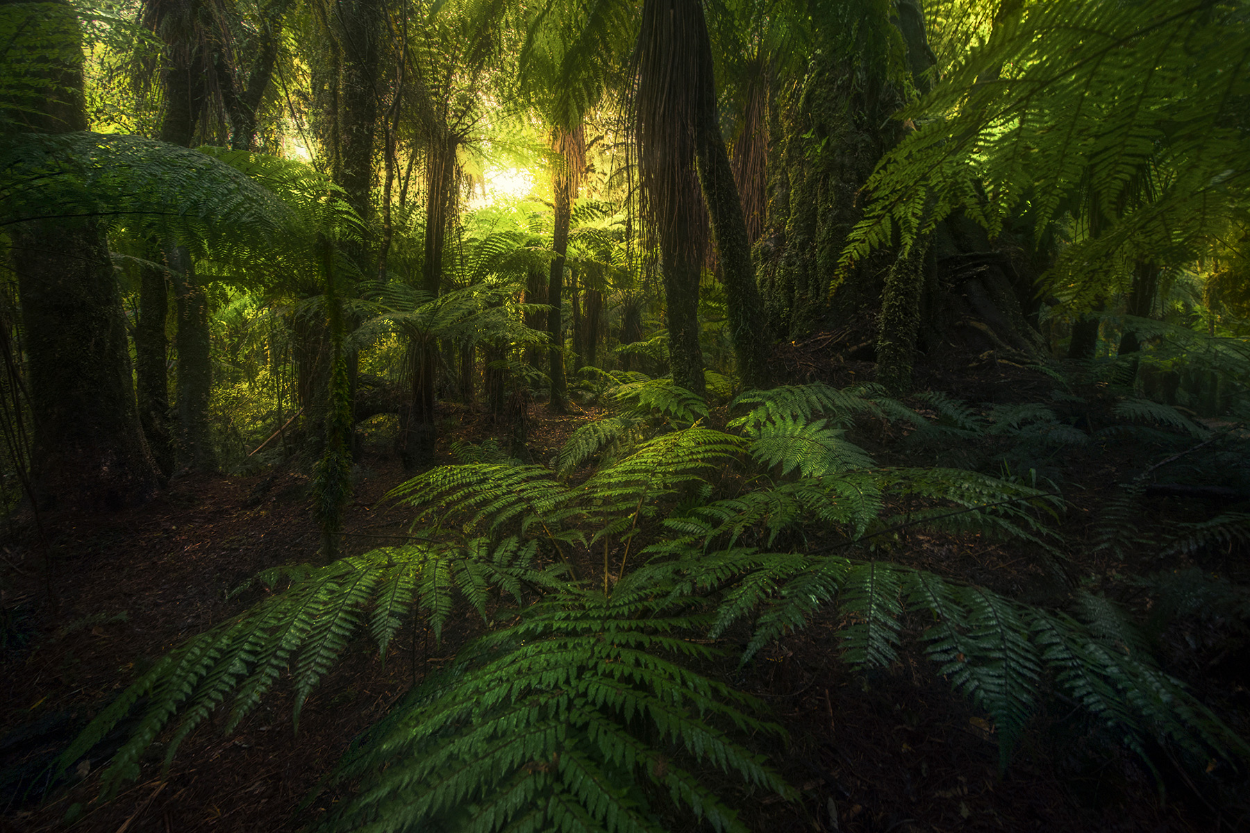 fern, forest, New Zealand, rainforest, South Island, green, mosses, photo