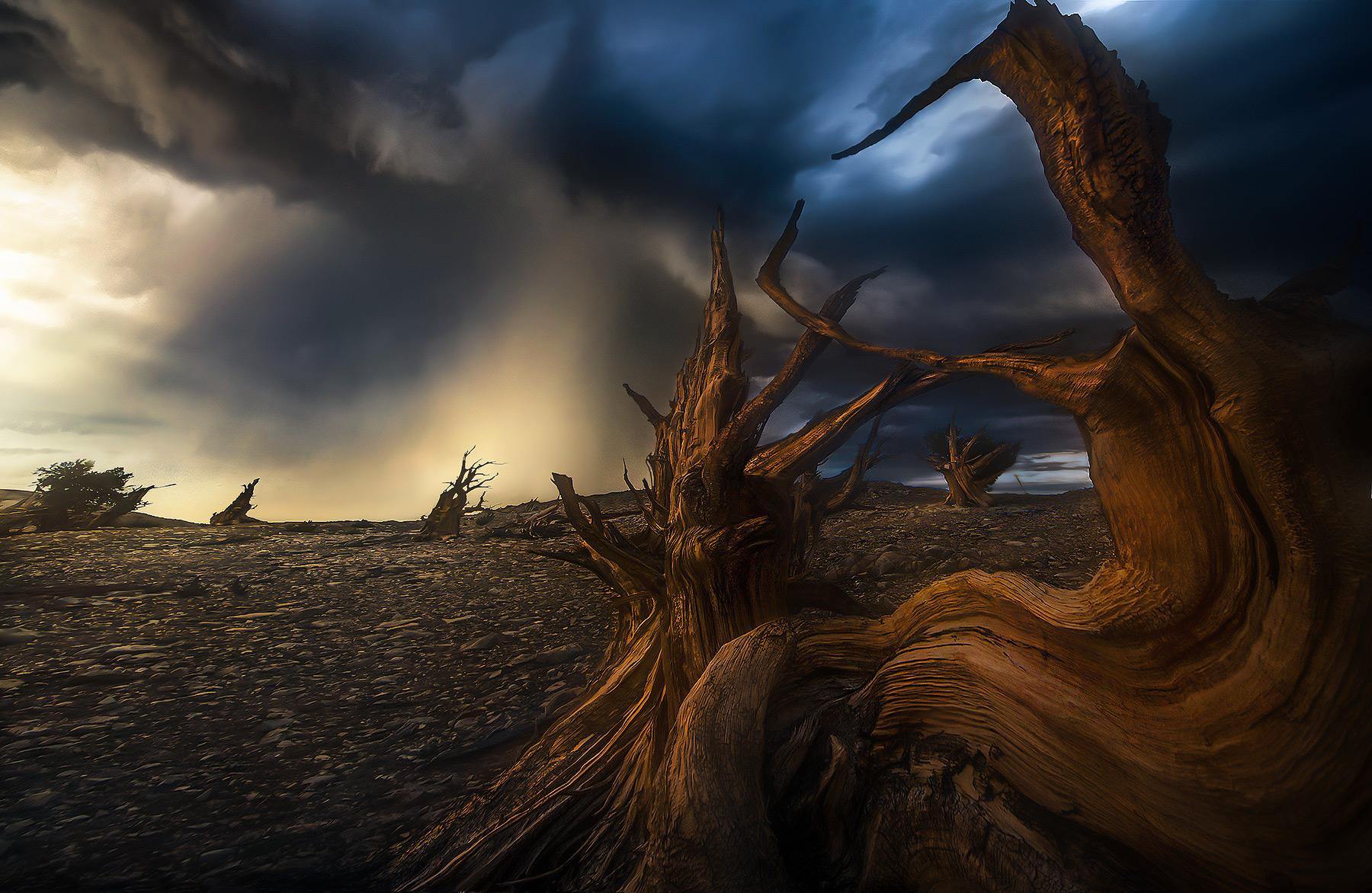 Sunset light through the storm, ancient Bristlecone Pine.