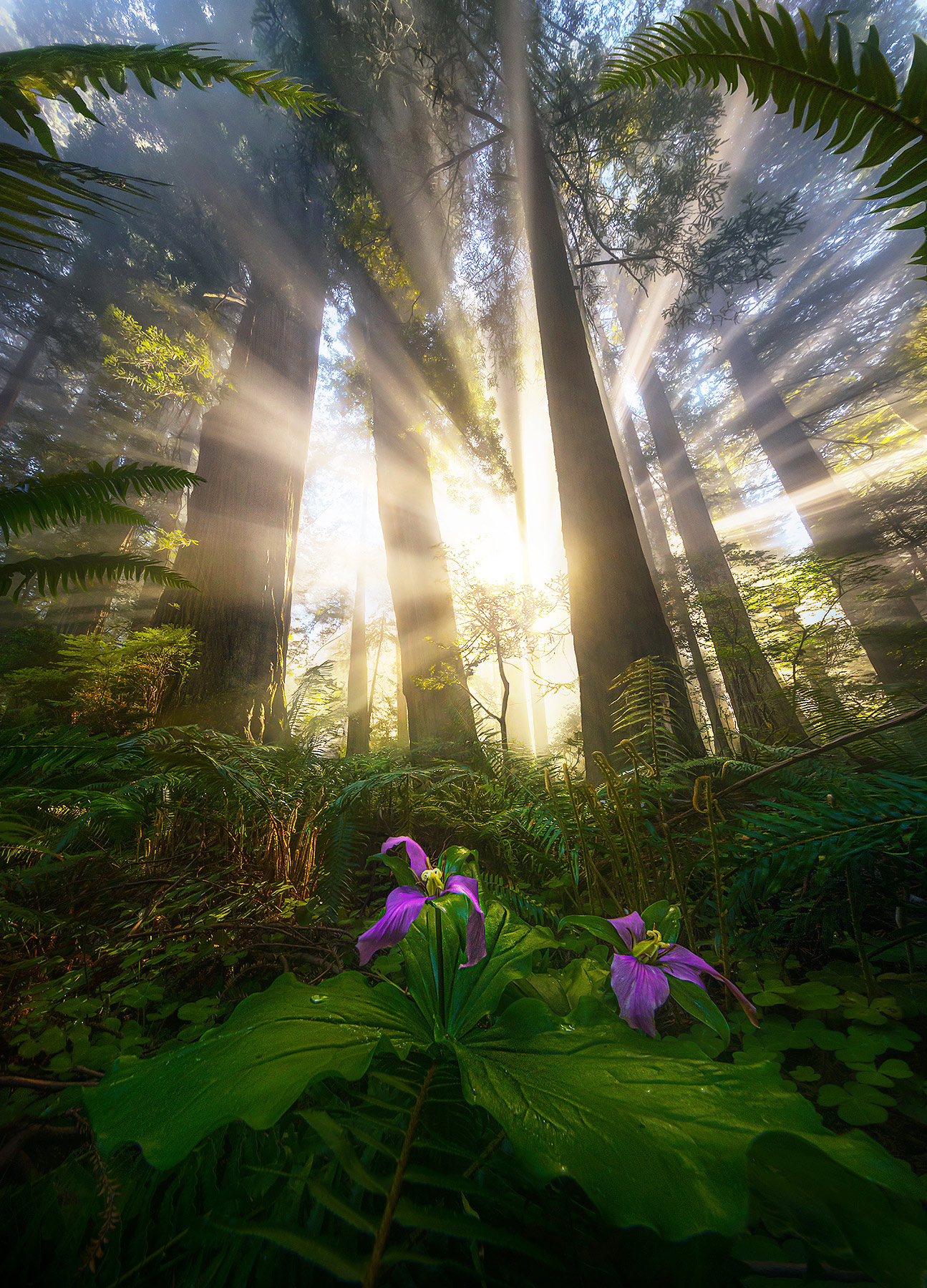 An amazing show of light over trillium flowers and ferns from a low, ultra-wide-angle perspective.