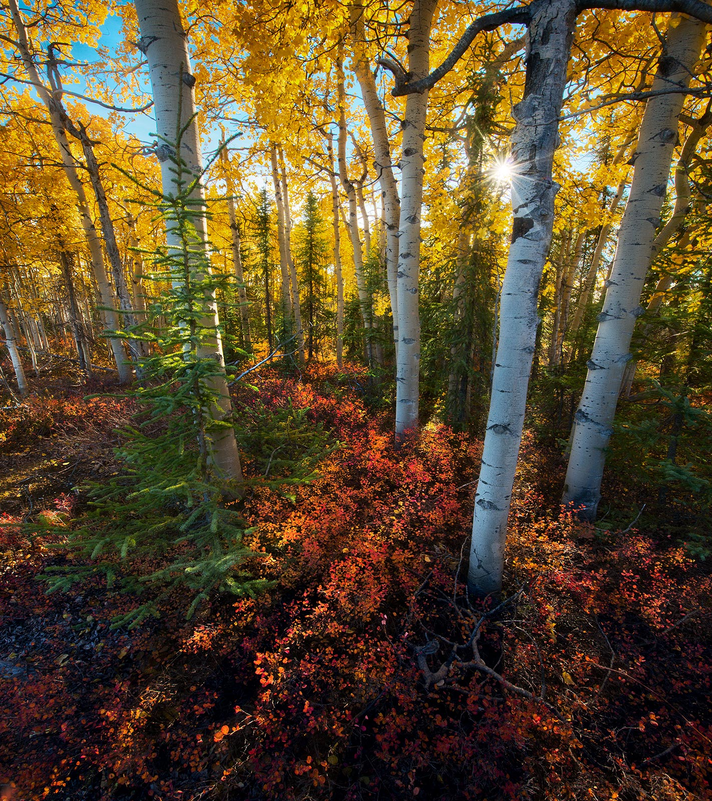 Just a simple array of Autumn colors and beautiful light photographed in a forest just outside Dawson City, in the Yukon.