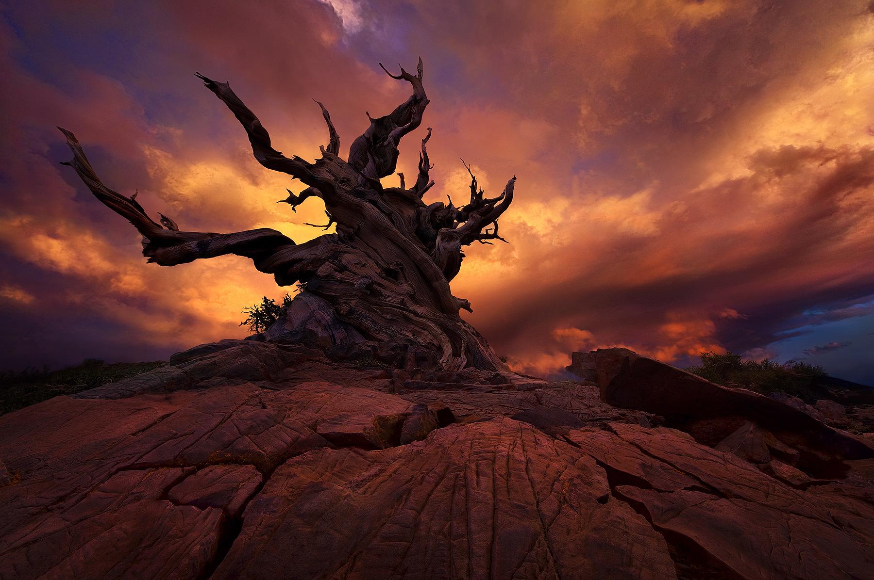 Sunset, Bristlecone, Gnarled, Old, Pine, Tree, Oldest, photo
