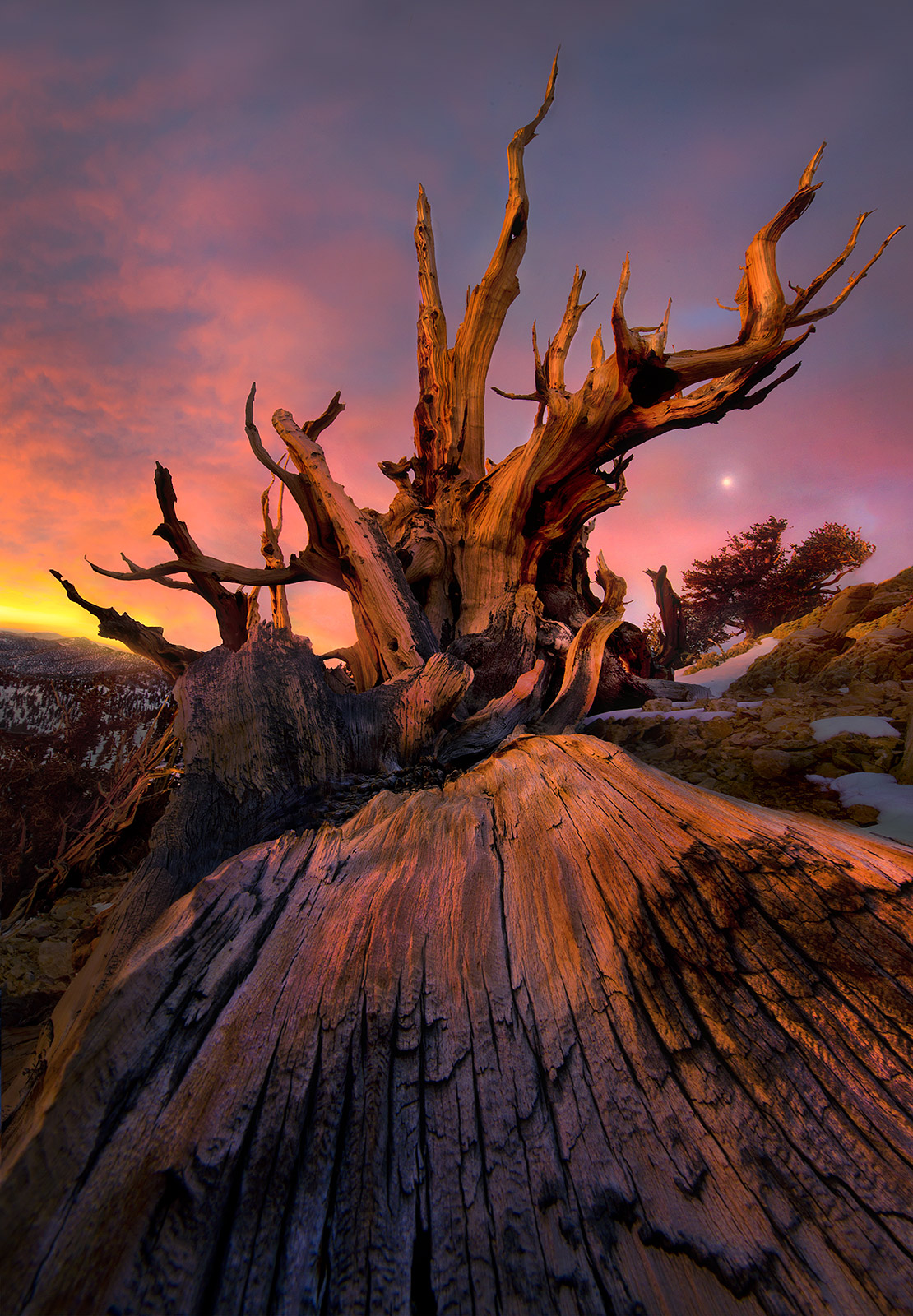 ancient, bristlecone, califorina, white mountains, sunrise, photo