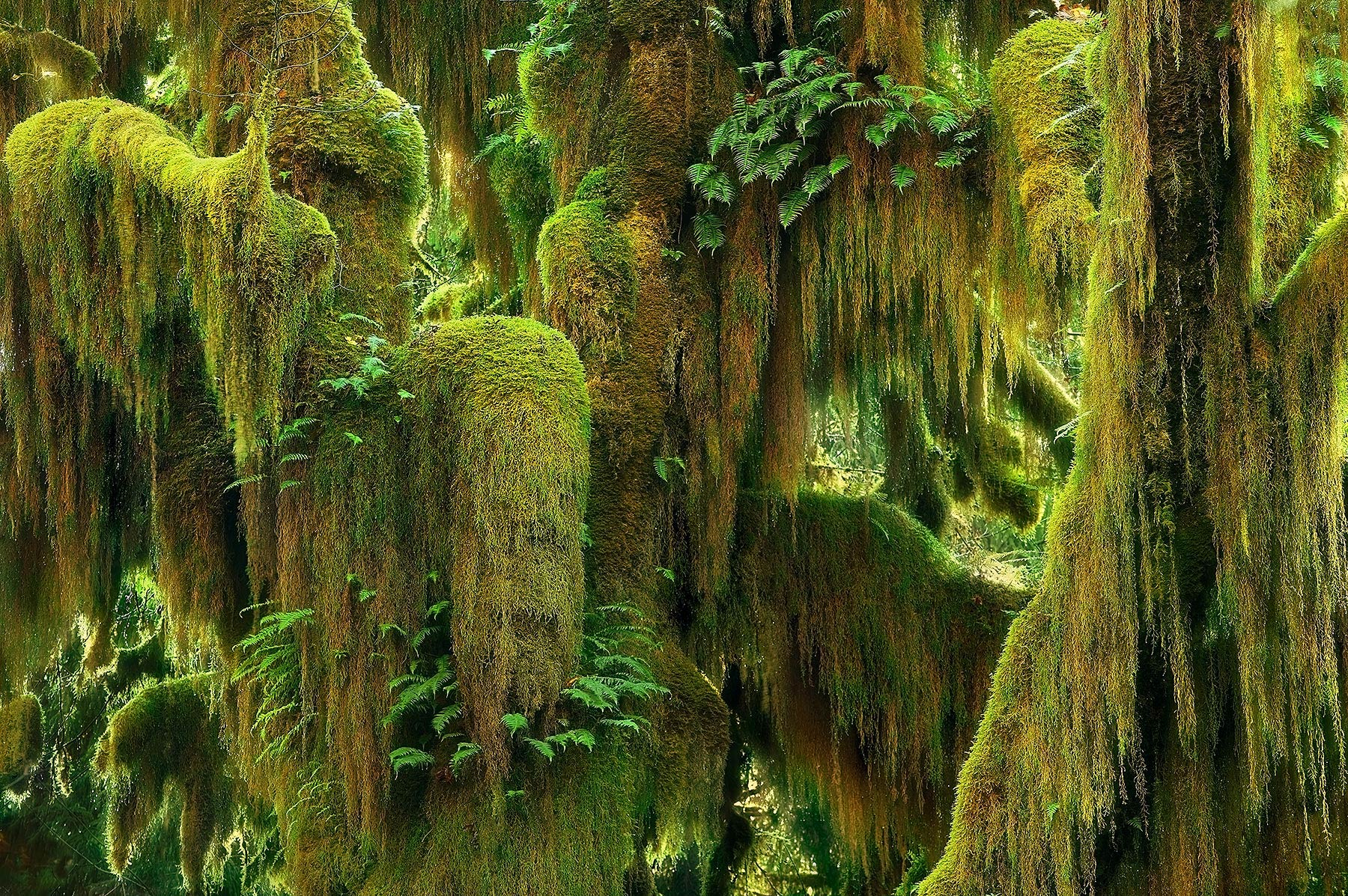 Lush, Moss, Maple, Olympic, Hoh, Rainforest, Washington, photo