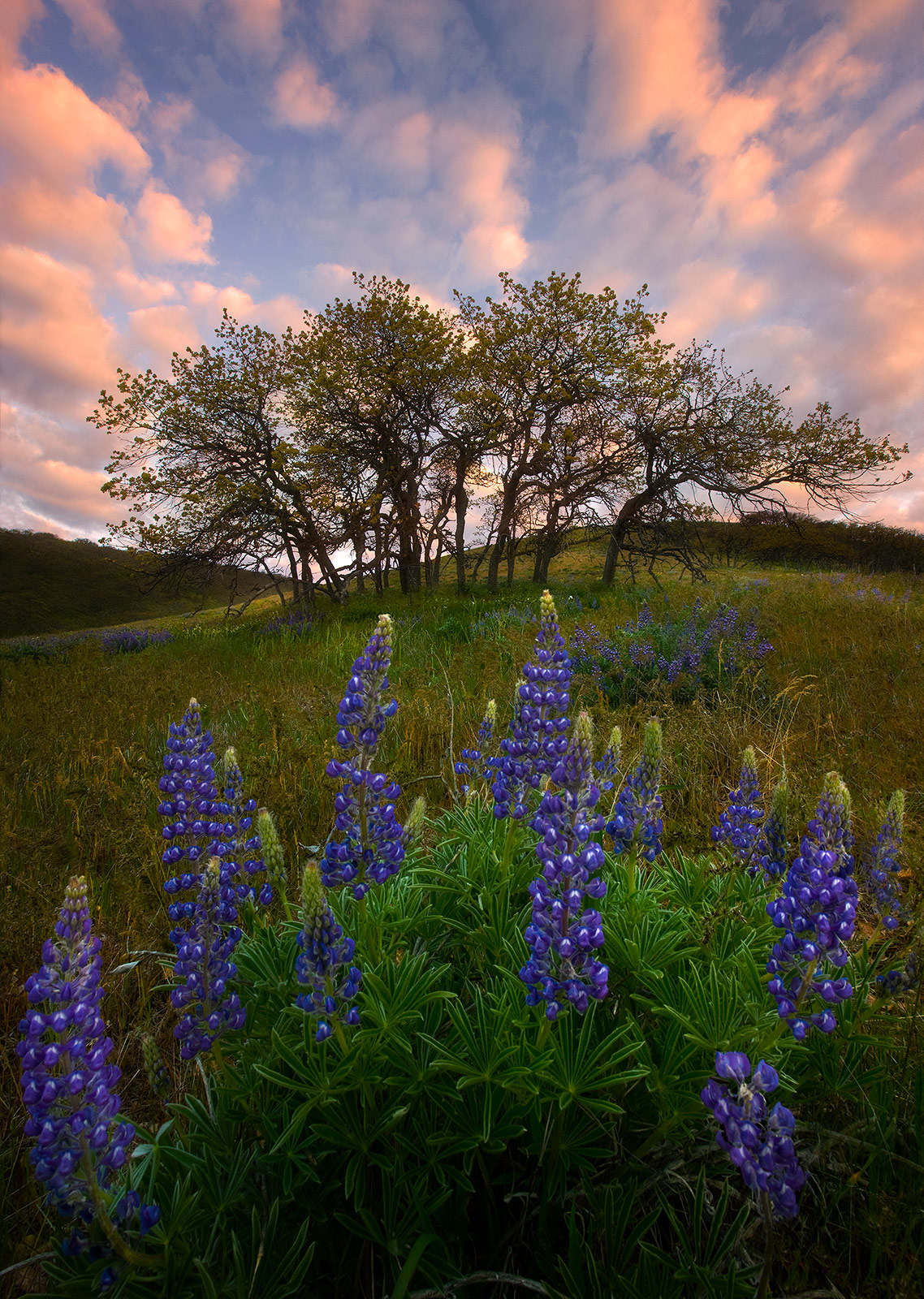 Lupine wildflowers and oaks photographed at sunrise in Washington's Columbia Hills.