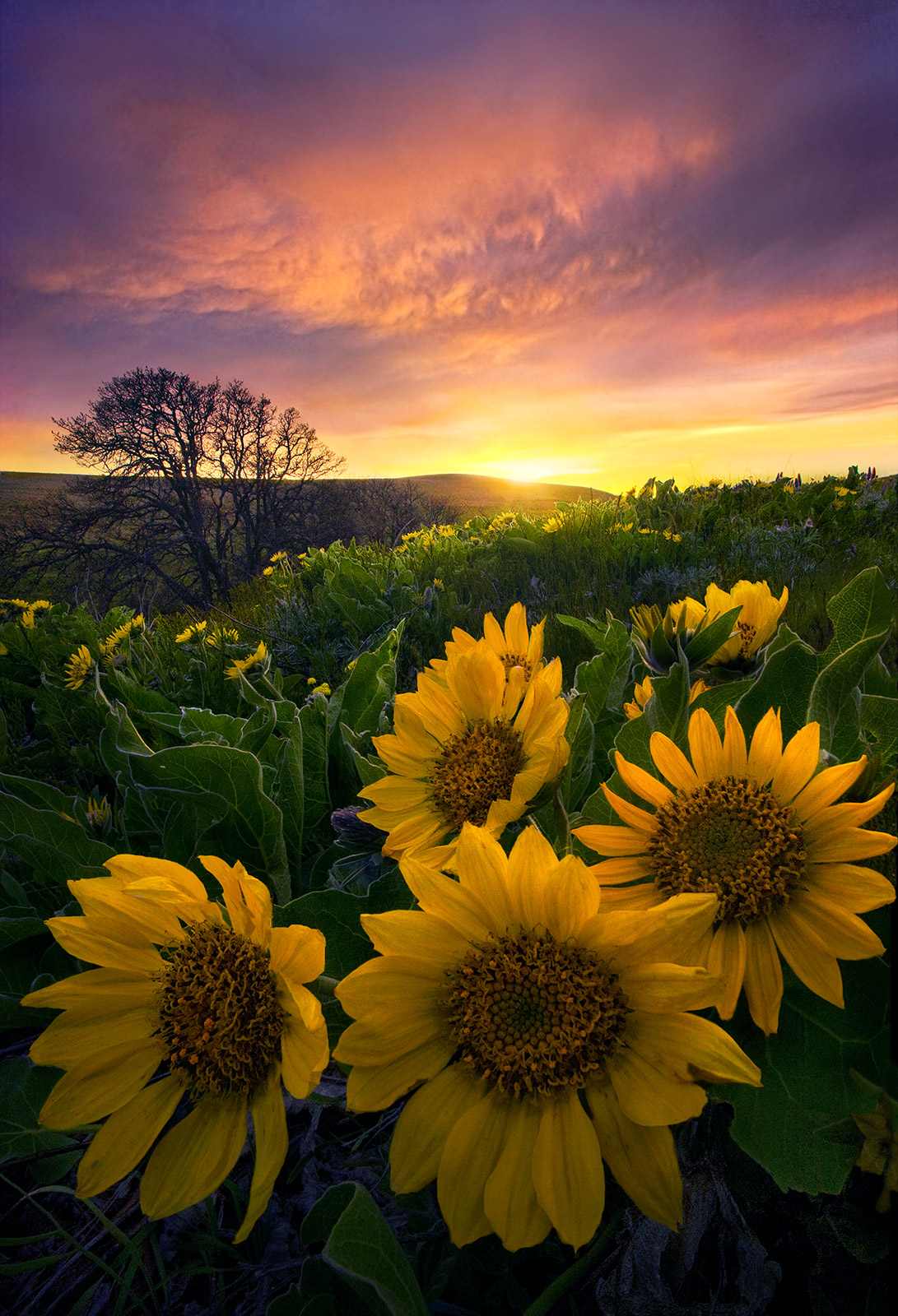 sunset, balsamroot, flower, fields, hills, washington, columbia, photo