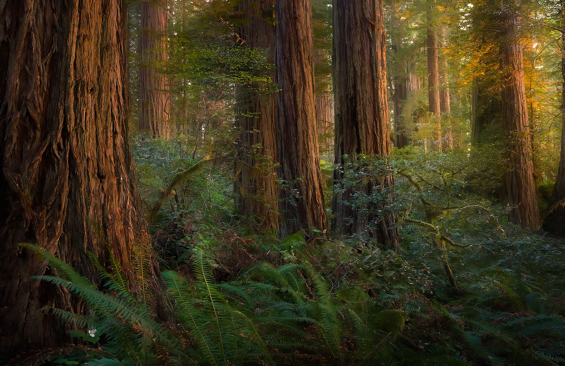 old growth, redwood, trees, lady bird johnson, california, sunset, photo