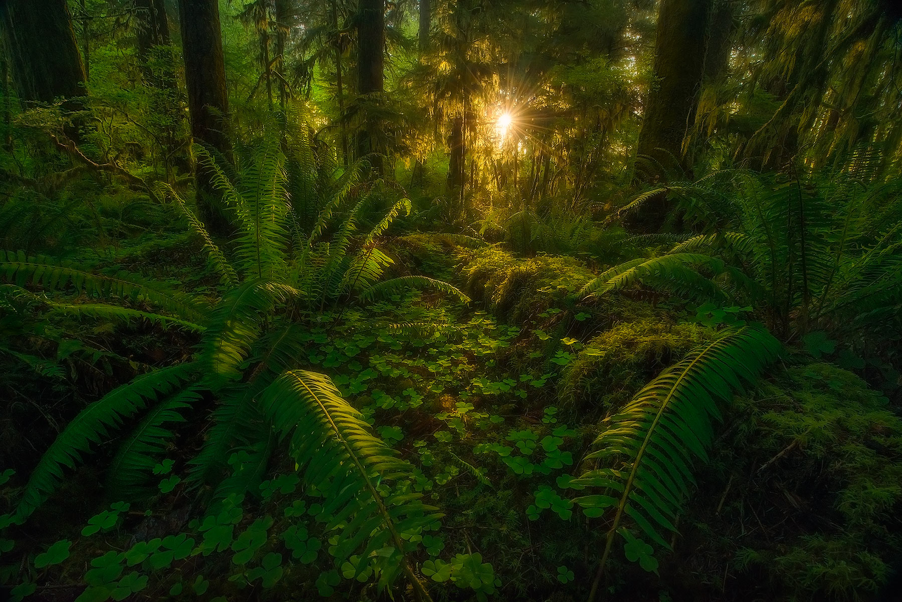 Rain Forest, Washington, Olympic, mosses, ferns, trees, forest, photo