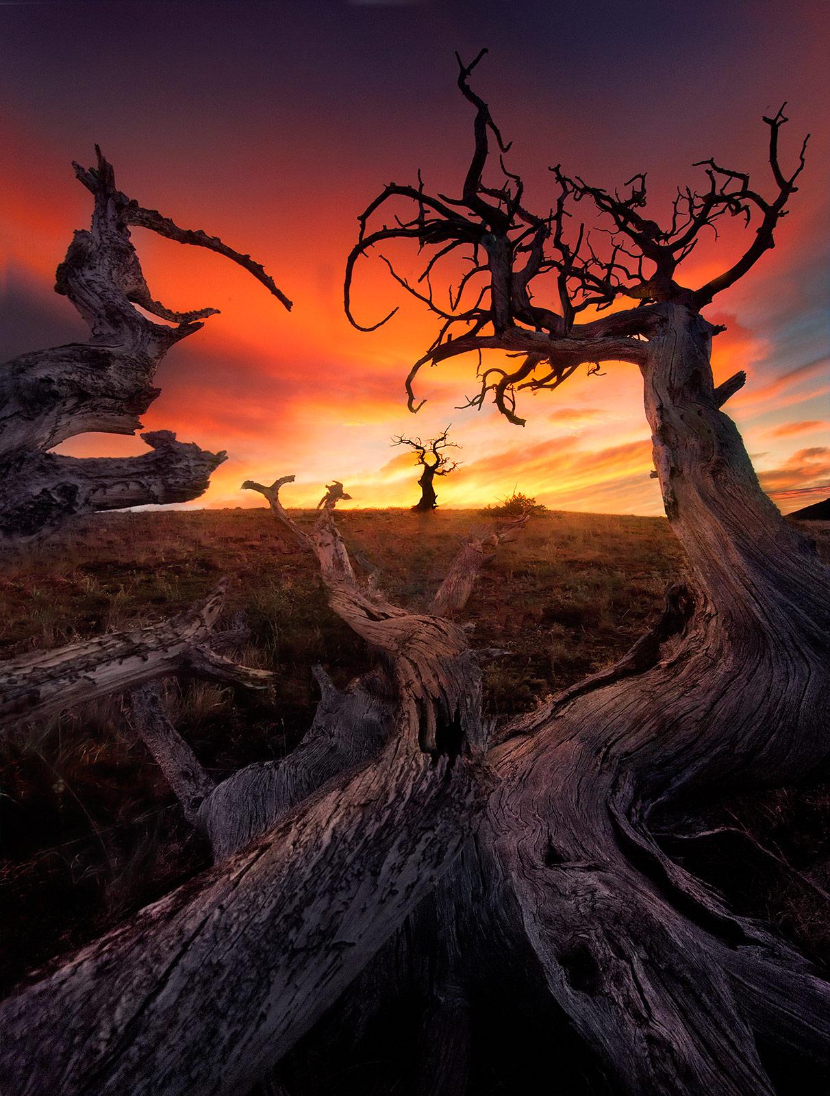 Whitebark, Pine, Montana, Plateau, Gnarled, Old, Sunrise, Rich, photo