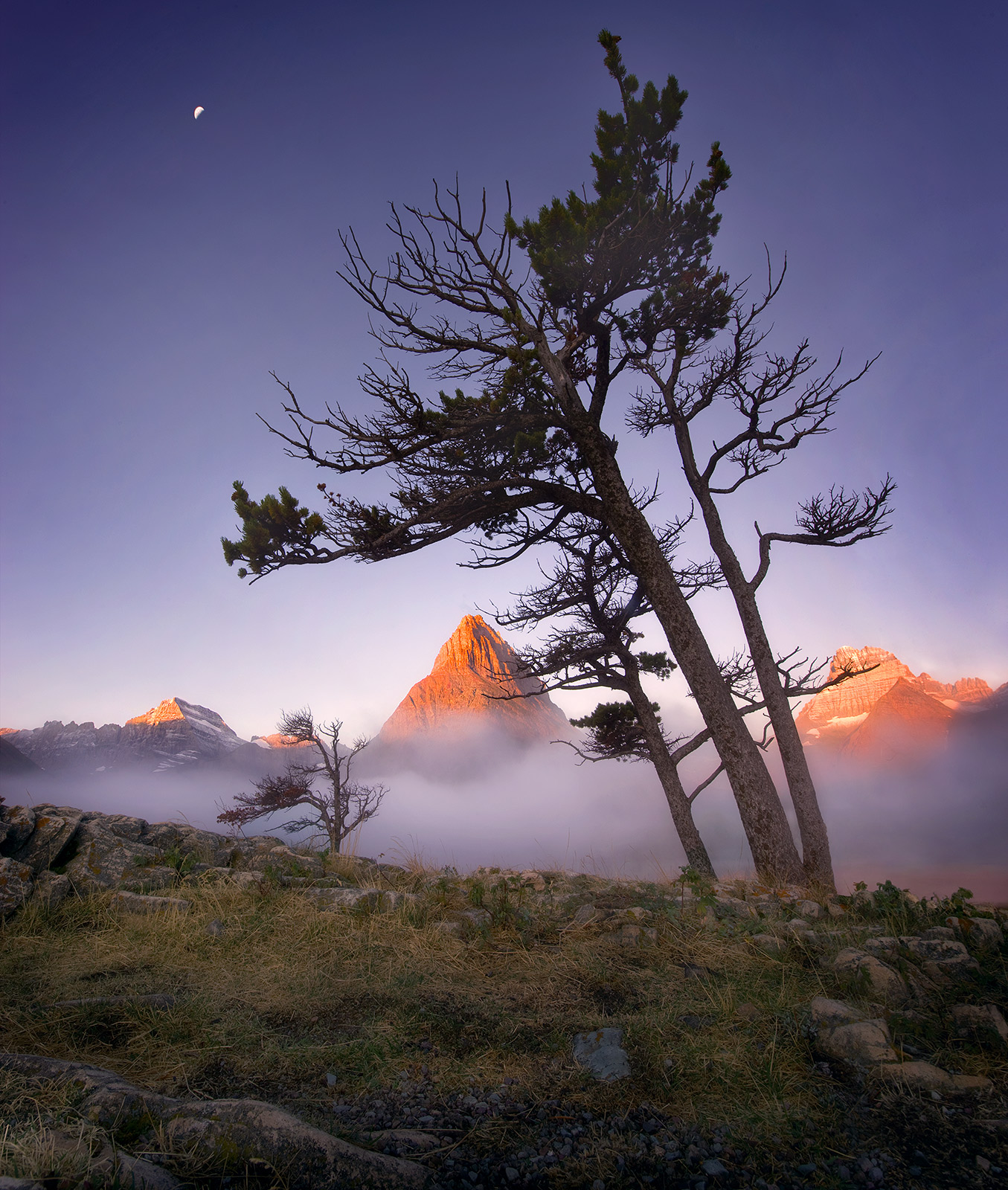 Old trees tower over peaks illuminated in the distance at sunrise under the crescent moon in Glacier Park, Montana.