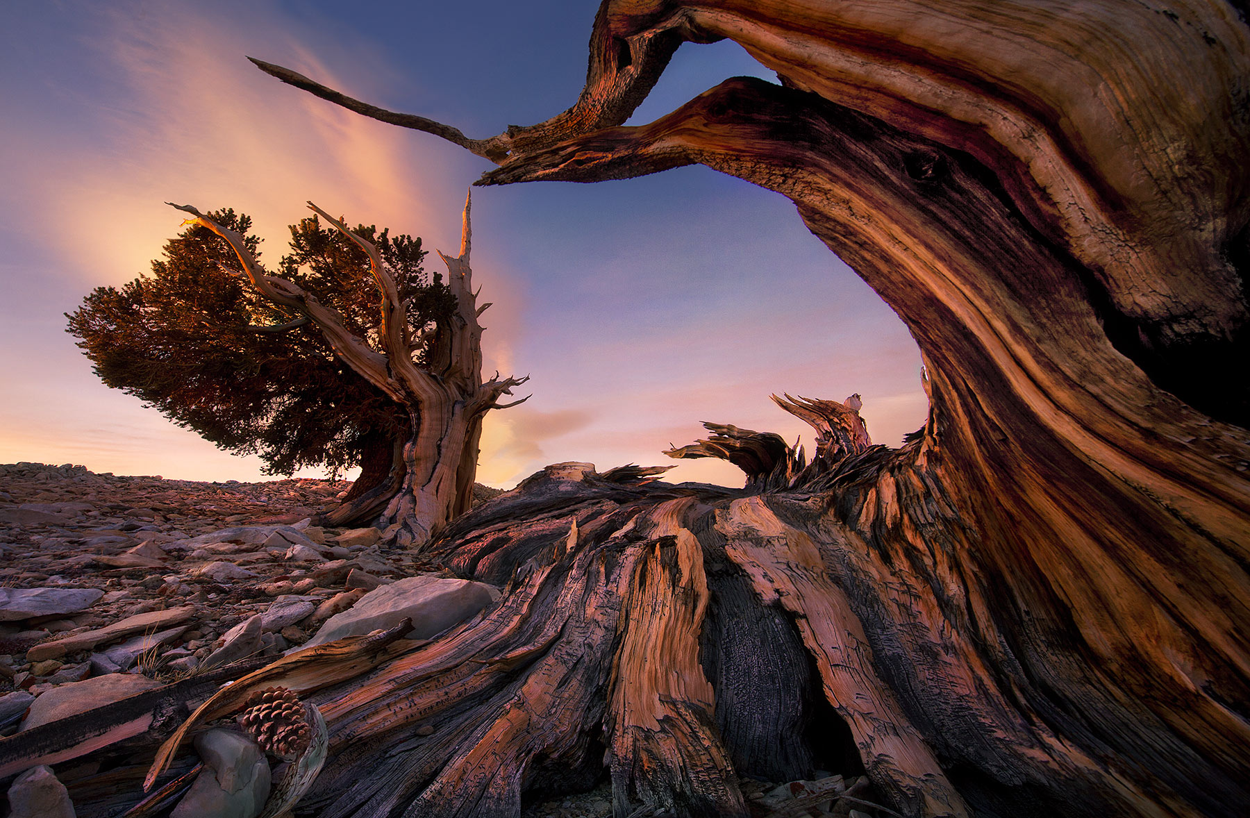 Bristlecone, Pine, White Mountains, photo
