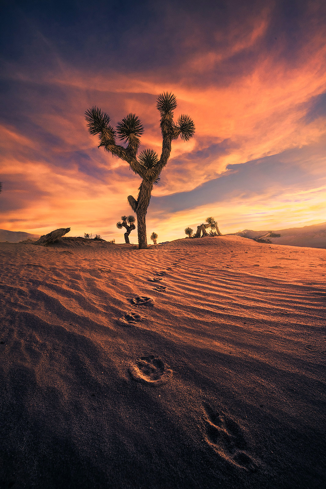 Dunes, sand, Joshua tree, coyote, tracks, desert, photo