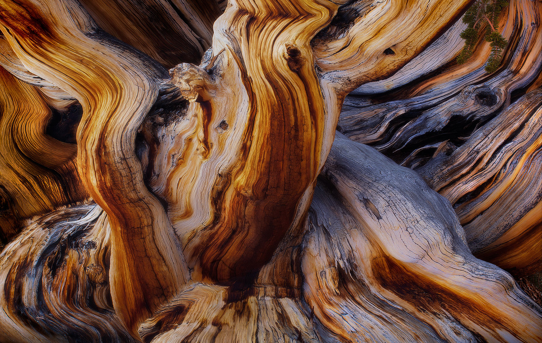 An abstraction of the side of an enormous, 7-meter wide Bristlecone Pine that is more than 3000 years old. I found the giant...