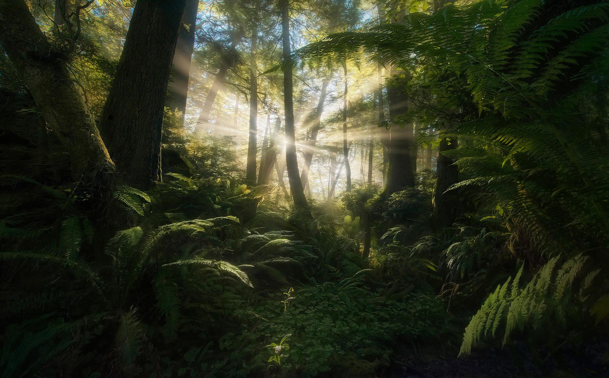 Olympic, Rainforest,washington, quinault,beams,sunbeam,rays,ferns,fern, photo