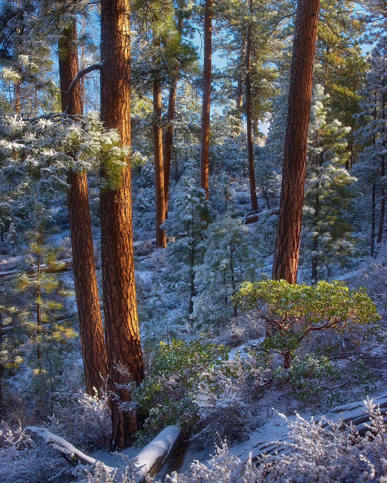 This image shows off some beautiful light on Ponderosa Pine forest in Oregon's Freemont Range, and the arragnement of colors...
